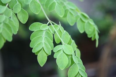 マルンガイの枝.jpg