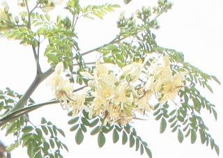 マルンガイの花.jpg