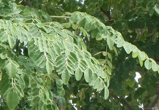 マルンガイの葉.jpg