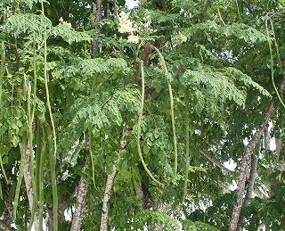 マルンガイ花と長い豆0.jpg