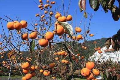 柿農園.jpg